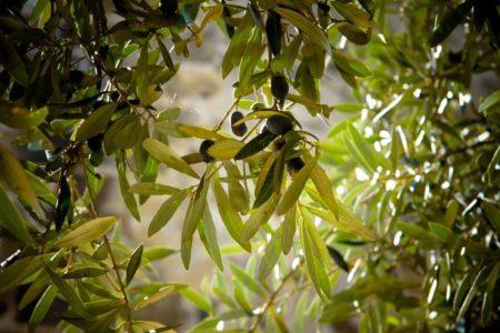 Olive trees in Groznjan